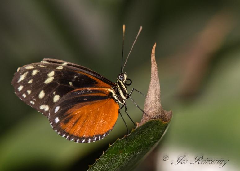 Butterfly 7Vlinders_DSC2069 67